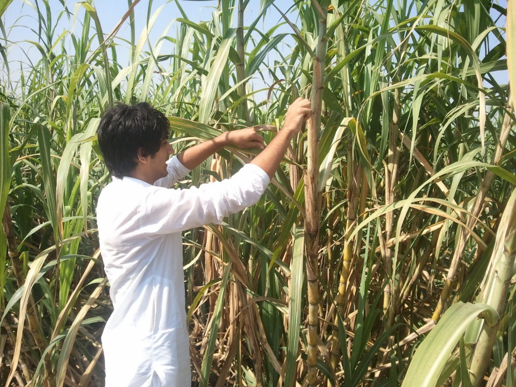 India's sugar plantation is ranked second in world's sugar industry.
